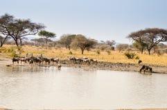 Табун антилоп гну и зебр стоковые изображения rf