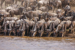 Табун антилопы гну стоит на банках реке, Африке Стоковые Изображения