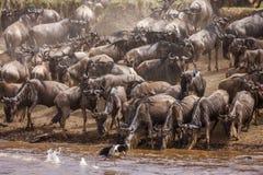 Табун антилопы гну стоит на банках реке, Африке Стоковое Изображение RF