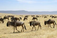Табун антилопы гну Стоковое Фото