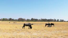 Табун антилопы гну сток-видео
