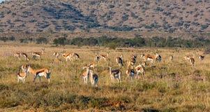 Табун антилопы прыгуна Стоковые Фотографии RF
