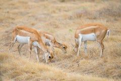 Табун антилопы Blackbuck Стоковая Фотография RF