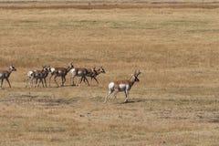 Табун антилопы Pronghorn в колейности Стоковое Изображение RF