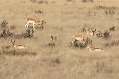 Табун антилопы Pronghorn Стоковое фото RF