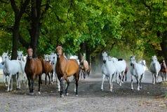Табун аравийских лошадей на дороге деревни Стоковая Фотография RF