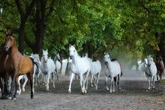 Табун аравийских лошадей на дороге деревни Стоковые Фотографии RF