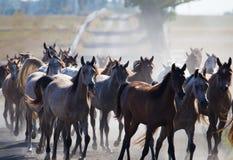 Табун аравийских лошадей на дороге деревни Стоковое Изображение