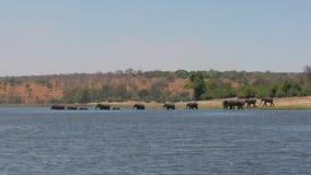 Табун африканских слонов переходить вброд река Chobe в Ботсване видеоматериал