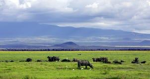 Табун африканского буйвола в саванне Стоковые Изображения RF