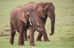 табун африканского слона Стоковое Изображение