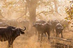 Табун африканской пыли повышения буйвола в саванне, парке Kruger, Южной Африке Стоковые Фотографии RF