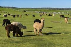 Табун альпаки на ранчо Стоковое Изображение