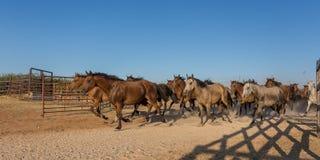 Табун бегов лошадей в загоне стоковая фотография