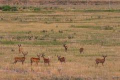 Табун Бело-замкнутых самцов оленя оленей в бархате Стоковая Фотография