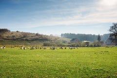 Табун белых взрослых гусынь пася на сельской местности на Стоковое Изображение RF