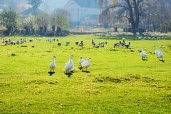 Табун белых взрослых гусынь пася на сельской местности на Стоковая Фотография RF