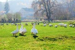 Табун белых взрослых гусынь пася на сельской местности на Стоковое Изображение