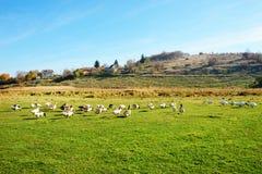 Табун белых взрослых гусынь пася на сельской местности на Стоковое Фото