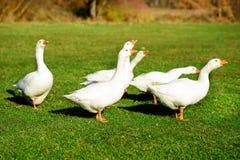 Табун белых взрослых гусынь пася на сельской местности на Стоковая Фотография