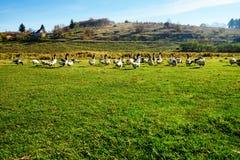 Табун белых взрослых гусынь пася на сельской местности на Стоковое фото RF