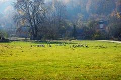 Табун белых взрослых гусынь пася на сельской местности на Стоковые Изображения