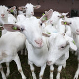 Табун белых коз вне фермы в Голландии Стоковое фото RF