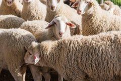Табун белых овец Стоковое Изображение RF