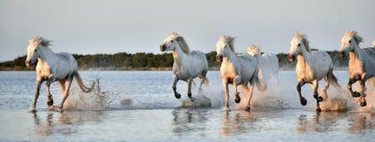 Табун белых лошадей бежать через воду в свете захода солнца Стоковые Изображения