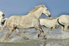 Табун белых лошадей бежать через воду в свете захода солнца Стоковое Изображение