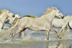 Табун белых лошадей бежать через воду в свете захода солнца Стоковая Фотография RF