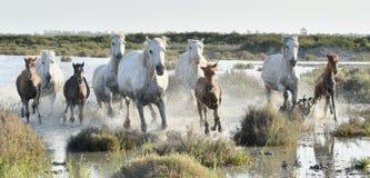 Табун белых лошадей бежать через воду в свете захода солнца Стоковое Изображение RF