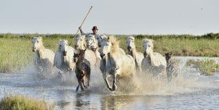 Табун белых лошадей бежать через воду в свете захода солнца Стоковое Фото