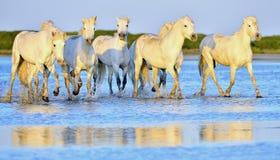Табун белых лошадей бежать через воду в свете захода солнца Стоковые Изображения RF