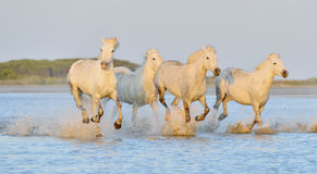 Табун белых лошадей бежать через воду в свете захода солнца Стоковые Фотографии RF