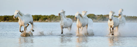 Табун белых лошадей бежать через воду в свете захода солнца Стоковое фото RF