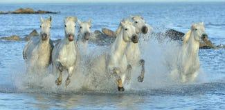 Табун белых лошадей Camargue бежать на воде Стоковое Фото