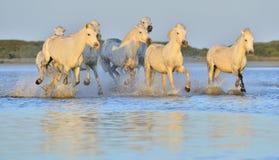 Табун белых лошадей Camargue бежать на воде Стоковое Изображение RF