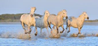 Табун белых лошадей Camargue бежать на воде Стоковые Изображения RF