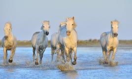 Табун белых лошадей Camargue бежать на воде Стоковая Фотография