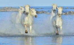 Табун белых лошадей Camargue бежать на воде Стоковое фото RF