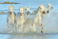 Табун белых лошадей Camargue бежать на воде Стоковые Фото