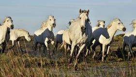 Табун белых лошадей Camargue бежать через болото Стоковые Фото