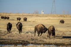 Табун бизона бежать к еде стоковое фото rf