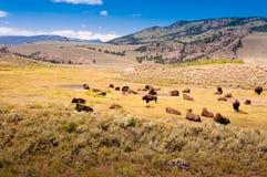 Табун бизона в национальном парке Йеллоустон стоковое изображение rf