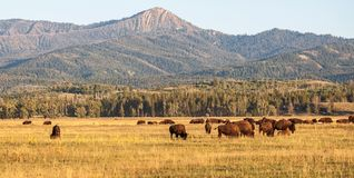 Табун бизона в равнинах в грандиозном соотечественнике Teton Стоковые Фотографии RF