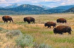 Табун буйвола в золотом поле около гор Стоковое Изображение RF