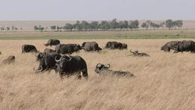 Табун буйвола накидки в запасе игры mara masai акции видеоматериалы
