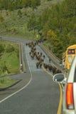 Табун буйвола бизона aka на миграции над мостом в Йеллоустоне Стоковое фото RF