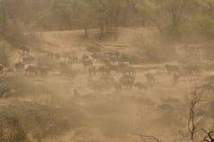 Табун буйвола в пылевоздушной саванне Стоковые Фотографии RF